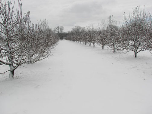 A picture of the Orchard in winter
