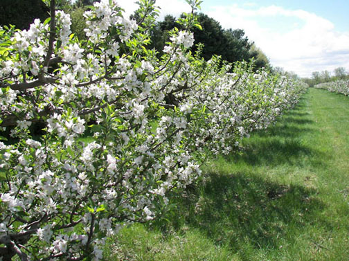 A picture of some apple blossoms