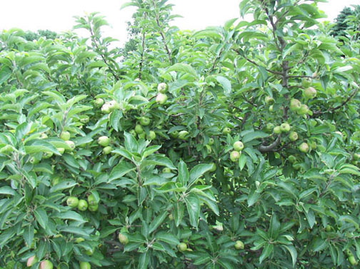 A picture of some apple trees